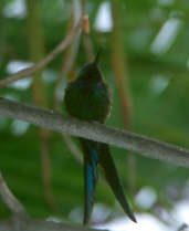 Swallow-tailed Hummingbird, Brazil, August 2000 - click for larger image